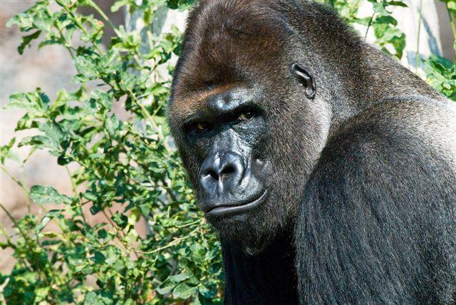 Odhalení: gorilky na DVD